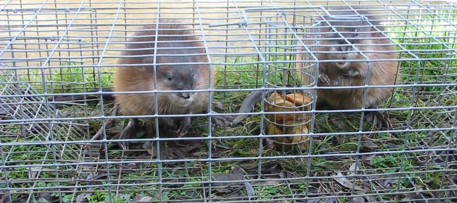 piège-à-rat